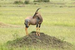 Topi na kopu w obszarach trawiastych Masai Mara w Kenja, Afryka Obraz Stock
