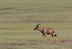 Topi que anda no Masai Mara Game Reserve, Kenya, imagens de stock royalty free