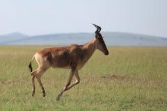 Topi. Running topi in African savannah Masai Mara Royalty Free Stock Photography