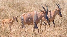 Topi, Serengeti park narodowy, Tanzania, Afryka Zdjęcie Royalty Free