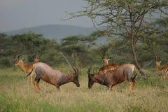 Topi in Serengeti Stock Images