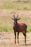 Topi standing on savanna Royalty Free Stock Photo