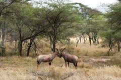 Topi or Tsessebe antelope Royalty Free Stock Image