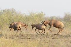 Topi, Tsessebe-antilopemannetjes het vechten stock afbeeldingen