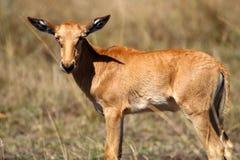 Topi young, Masai Mara, Kenya stock photography