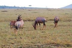 Topi zwierzęta na trawiastej równinie Zdjęcia Stock