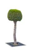 Topiary δέντρο που απομονώνεται πέρα από το άσπρο υπόβαθρο Στοκ Φωτογραφία