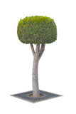 Topiary δέντρο που απομονώνεται στο λευκό Στοκ φωτογραφίες με δικαίωμα ελεύθερης χρήσης
