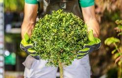 Topiary διαμόρφωση θάμνων καλοψημένη στοκ φωτογραφίες με δικαίωμα ελεύθερης χρήσης