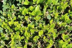 topiary Стоковые Фото