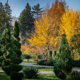 Topiary art of shorn thuja and juniperon of the autumn city against the background of gold Ginkgo biloba. And Liquidambar. Formed evergreens. Selective focus stock photos