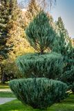 Topiary art on the streets of the autumn city. Formed evergreens. Shorn juniper Juniperus scopulorum Skyrocket. Selective focus. Nature concept for design stock images