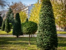 Topiary art on the streets of the autumn city. Formed evergreens. Shorn thuja, juniper and yew. Selective focus. Nature concept for design royalty free stock photo