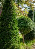 Topiary art on the streets of the autumn city. Formed evergreens. Shorn thuja and yew. Selective focus. Nature concept for design royalty free stock photo