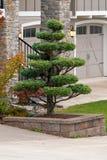 Topiary Boom in Huisfrontyard Opgeheven Bed stock afbeeldingen