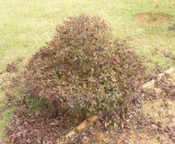 Topiary Buxus obrazy stock