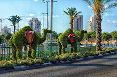 Topiary camels standing on dividing line on the road. Rishon LeZion, Israel - September 3, 2014: Two topiary dromedary camels with flower baskets are standing on Royalty Free Stock Photography
