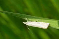 Topiary Grass-veneer Moth - Chrysoteuchia topiarius. A Topiary Grass-veneer Moth perches upside down on a blade of grass. Also known as a Subterranean Sod royalty free stock photography