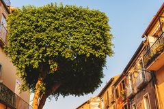 Topiary tree in the form of a cylinder. On the street of Tropea, Calabria, Italy stock image