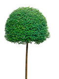 Topiary tree over white background Royalty Free Stock Photo