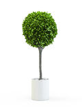 Topiary trees in the pot Stock Photos