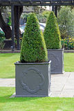 Topiary trees potted Royalty Free Stock Photos