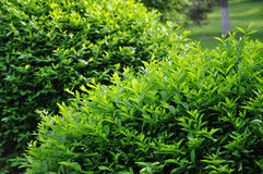 Topiary trimmed bush. In the garden Stock Image
