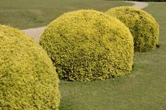 Topiary yew bushes in english country garden Stock Photo