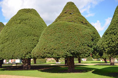 Topiary yew trees Stock Images