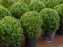 Topiarybuskar Royaltyfri Fotografi