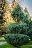 Topiarykunst auf den Straßen der Herbststadt Gebildete Evergreens Geschorene Wacholderbusch Juniperus scopulorum Leuchtrakete stockbilder