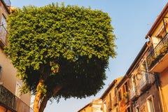Topiaryträd i form av en cylinder fotografering för bildbyråer