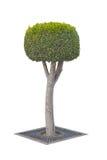 Topiaryträd som isoleras på vit arkivbilder