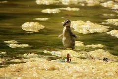 Topic Loneliness, duckling in a big pond Royalty Free Stock Image