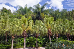 Topical palm trees Stock Photography