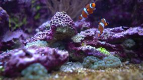 Topical saltwater fish clownfish stock video footage