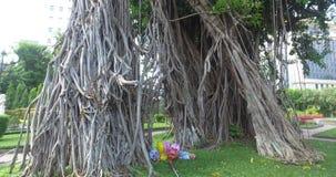 Topical tree - Ficus elastica stock footage