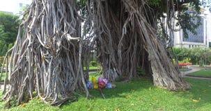 Topical tree - Ficus elastica stock video footage
