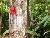 Topical vegetation. Pink flower that grows on a tree trunk in Amazonia Stock Image