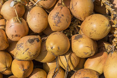 Topical yellow coconuts in Sri Lanka. Royalty Free Stock Photo