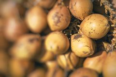 Topical yellow coconuts in Sri Lanka. Topical yellow coconuts in Sri Lanka Stock Photography