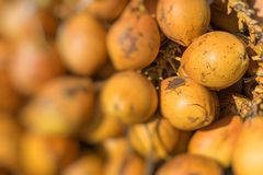 Topical yellow coconuts in Sri Lanka. Topical yellow coconuts in Sri Lanka Royalty Free Stock Photo