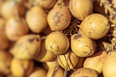 Topical yellow coconuts in Sri Lanka. Topical yellow coconuts in Sri Lanka Stock Image