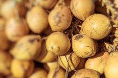 Topical yellow coconuts in Sri Lanka. Stock Image