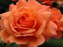 Topicana Rose Photo libre de droits