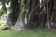Topiczny drzewo - Ficus elastica Obrazy Stock