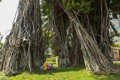 Topiczny drzewo - Ficus elastica Obraz Stock