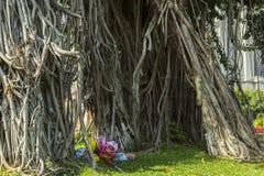 Topiczny drzewo - Ficus elastica Obrazy Royalty Free