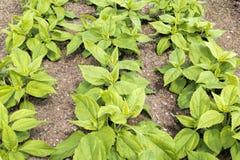Topinambour (Helianthus tuberosus) plants Royalty Free Stock Image
