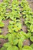 Topinambour (Helianthus tuberosus) plants Royalty Free Stock Images